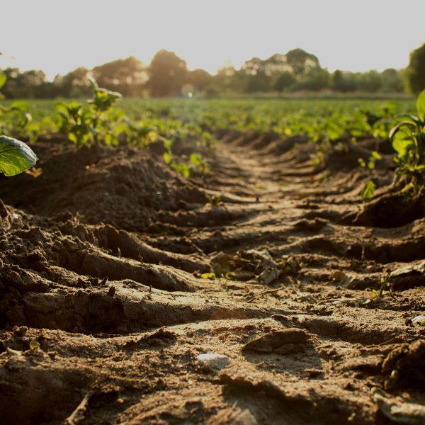 Furrowed soil