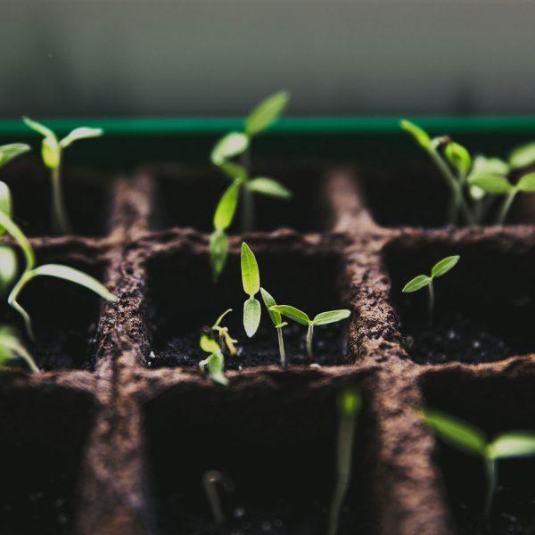 Green shoots poking through soil