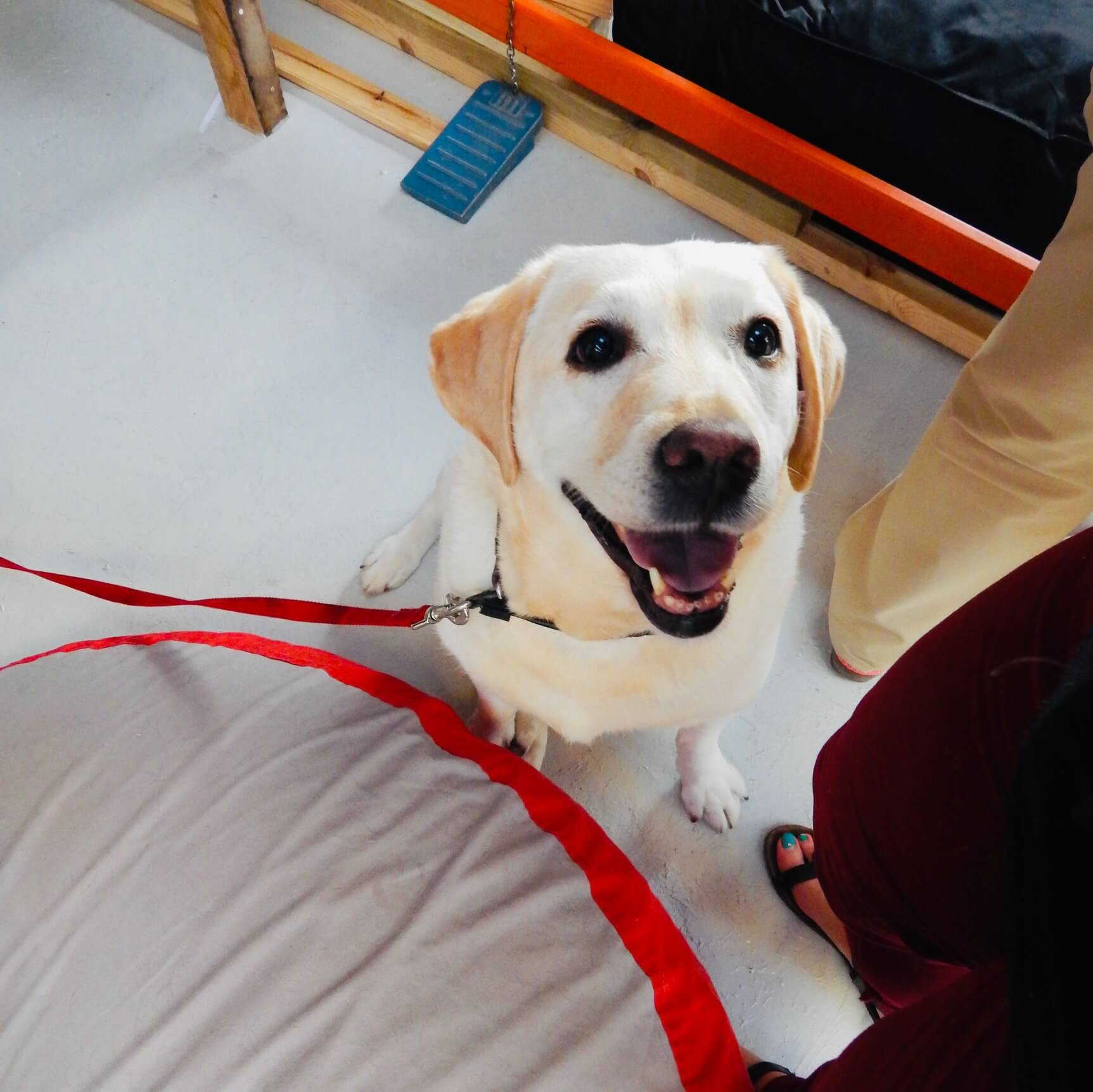 Golden retriever smiles next to his dog bed